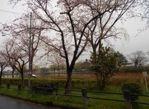 桜開花! 新潟市北山池公園からお知らせ