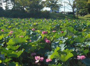 蓮の花、開花。  北山公園からのお知らせ