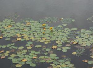 可憐な花 アサザ 新潟市北山池公園からのお知らせ