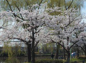 新潟市江南区北山池から桜のお知らせ!