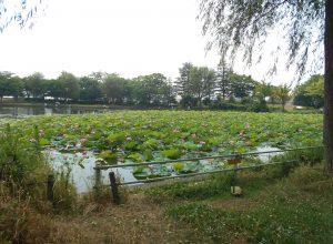 新潟市江南区北山池公園の蓮の花が咲きました