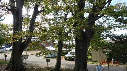 市の保存樹 大けやき