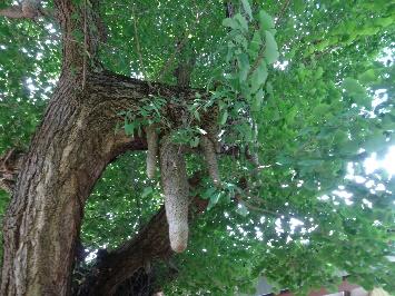 気根をもつ珍しいイチョウの木