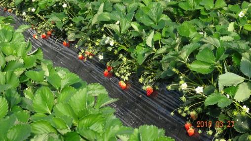 弥次郎農園のいちご