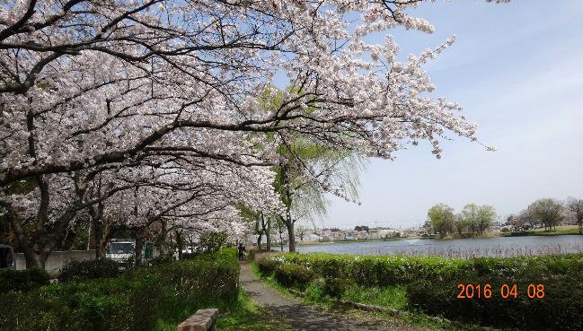 北山池公園の桜