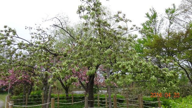 北山池公園の緑の桜「御衣黄」