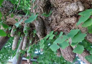 気根をもった珍しいイチョウの木