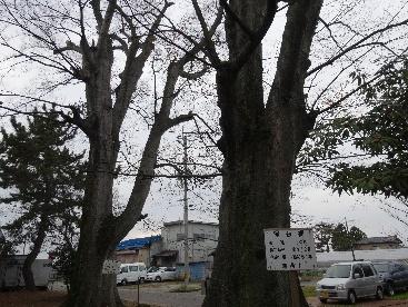 市の保存樹のおおけやき