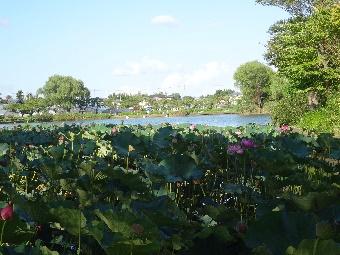 北山池公園の蓮