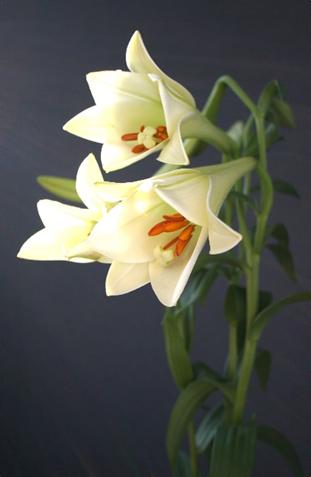 7月から10月にかけて出荷される新テッポウユリ「ホワイト阿賀」