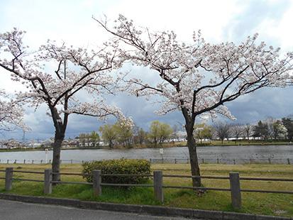 桜桜から見る北山池公園(4月)